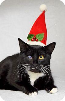 Domestic Shorthair Kitten for adoption in Dublin, California - Bug