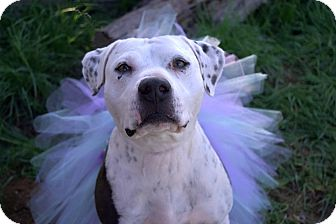 American Staffordshire Terrier Mix Dog for adoption in Los Angeles, California - Savana