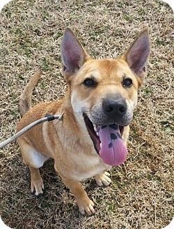 Carolina Dog/Shepherd (Unknown Type) Mix Dog for adoption in Elgin, Oklahoma - Henry