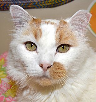 Domestic Longhair Cat for adoption in Independence, Missouri - Luna