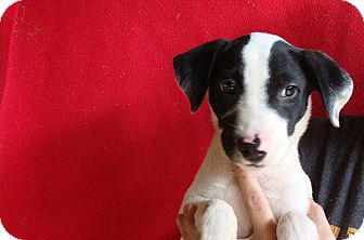 Border Collie/Labrador Retriever Mix Puppy for adoption in Oviedo, Florida - Buster