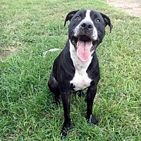 American Pit Bull Terrier Mix Dog for adoption in Oakhurst, New Jersey - Riddick