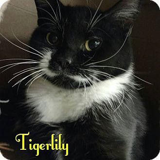 Domestic Shorthair Kitten for adoption in Bensalem, Pennsylvania - Tiger Lily