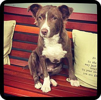 Australian Shepherd Mix Puppy for adoption in Grand Bay, Alabama - Scrappy