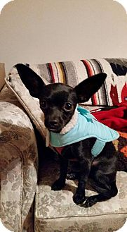 Chihuahua Puppy for adoption in WESTMINSTER, Maryland - Chole