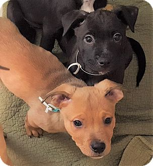 American Pit Bull Terrier/Shepherd (Unknown Type) Mix Puppy for adoption in North Olmsted, Ohio - Puppies