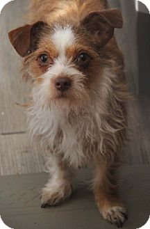 Terrier (Unknown Type, Small) Mix Dog for adoption in Yuba City, California - Taffy