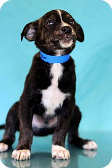 Labrador Retriever Mix Puppy for adoption in Waldorf, Maryland - Ragner