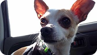 Chihuahua Mix Dog for adoption in Hazel Park, Michigan - Scooter