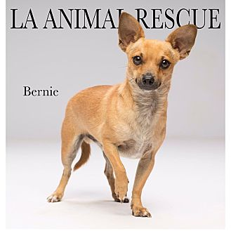 Chihuahua/Terrier (Unknown Type, Small) Mix Dog for adoption in Los Angeles, California - Bernie