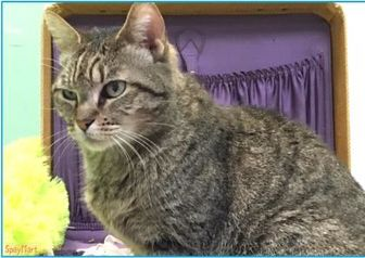 Domestic Shorthair/Domestic Shorthair Mix Cat for adoption in Metairie, Louisiana - Hazel