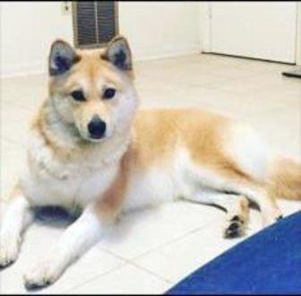 Husky/Alaskan Malamute Mix Dog for adoption in Fairfax, Virginia - Lola