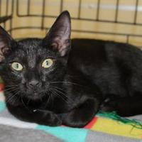 Adopt A Pet :: RAZZLE DAZZLE - Houston, TX
