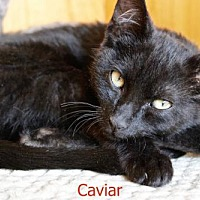 Adopt A Pet :: Caviar - Polson, MT