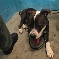 Adopt A Pet :: HANS - Olivette, MO