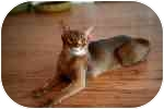 Abyssinian Cat for adoption in Davis, California - Caesar