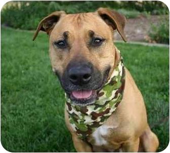 Rhodesian Ridgeback/American Pit Bull Terrier Mix Dog for adoption in Auburn, California - Nicholas