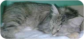 Domestic Shorthair Cat for adoption in Medford, Massachusetts - Berliose