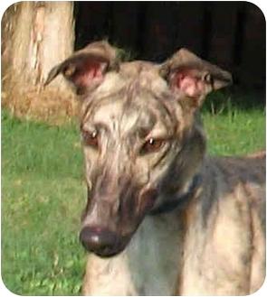 Greyhound Dog for adoption in Tampa, Florida - Raceway