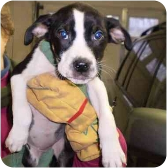 Labrador Retriever Mix Puppy for adoption in Broadway, New Jersey - Bagel