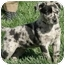 Photo 3 - Catahoula Leopard Dog Puppy for adoption in Meridian, Idaho - Sam
