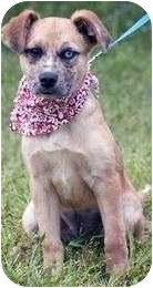 Catahoula Leopard Dog Mix Puppy for adoption in Portsmouth, Rhode Island - Yena- don't overlook me!