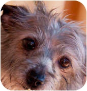 Chinese Crested/Terrier (Unknown Type, Small) Mix Dog for adoption in Los Angeles, California - Mamie
