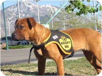 Labrador Retriever/Boxer Mix Puppy for adoption in Roosevelt, Utah - Honey