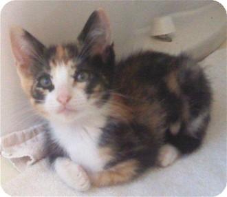 Calico Kitten for adoption in Schertz, Texas - Joli