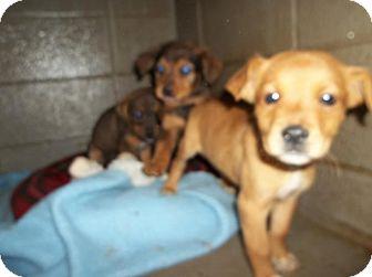 Labrador Retriever Mix Puppy for adoption in Henderson, North Carolina - E puppies