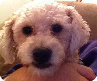 Poodle (Miniature) Mix Dog for adoption in New Jersey, New Jersey - NJ - Toffee