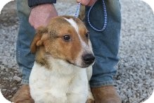 Jack Russell Terrier/Beagle Mix Dog for adoption in Russellville, Kentucky - Simon