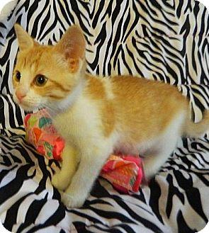 Domestic Shorthair Kitten for adoption in Virginia Beach, Virginia - Deja