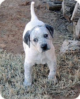 Blue Heeler Mix Puppy for adoption in Wichita Falls, Texas - Storm Trooper