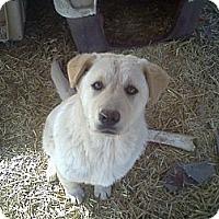 Adopt A Pet :: Sweet Polly Purebread - Albany, NY