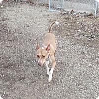 Adopt A Pet :: Ziva - Geneseo, IL