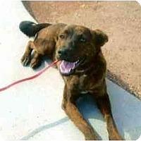 Adopt A Pet :: Ambrosia - Scottsdale, AZ