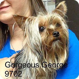 Yorkie, Yorkshire Terrier Dog for adoption in Manassas, Virginia - Gorgeous  George