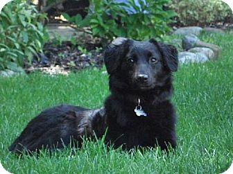 Border Collie/Labrador Retriever Mix Puppy for adoption in London, Ontario - Lacey