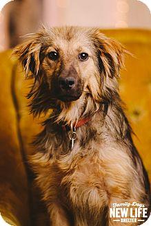 Sheltie, Shetland Sheepdog/German Shepherd Dog Mix Dog for adoption in Portland, Oregon - Katy Caterpillar