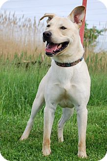 Labrador Retriever/Shepherd (Unknown Type) Mix Dog for adoption in Elyria, Ohio - Durango