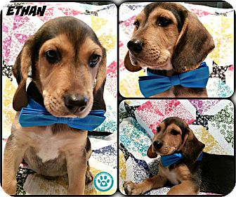 Basset Hound/Beagle Mix Puppy for adoption in Kimberton, Pennsylvania - Ethan