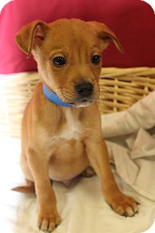 Boxer Mix Puppy for adoption in Waldorf, Maryland - Alvin