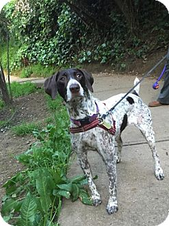 German Shorthaired Pointer Dog for adoption in Menlo Park, California - Layla