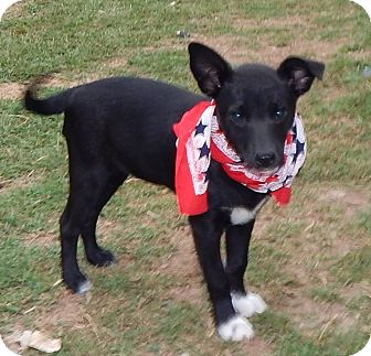 Rat Terrier Mix Puppy for adoption in Middletown, Delaware - Laka