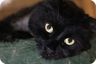 Domestic Longhair Cat for adoption in Columbia, Maryland - Be-Bop