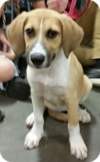 German Shepherd Dog/Hound (Unknown Type) Mix Puppy for adoption in New Port Richey, Florida - Lexi