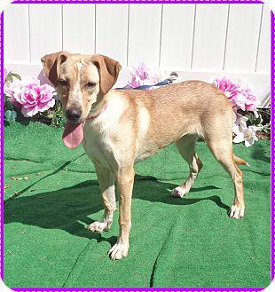 Labrador Retriever Mix Dog for adoption in Marietta, Georgia - DINAH