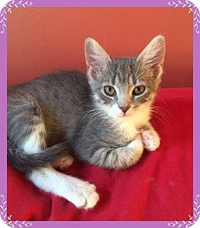 Domestic Shorthair Kitten for adoption in Mt. Prospect, Illinois - Liberty