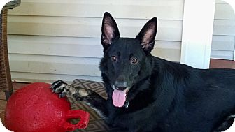 German Shepherd Dog Mix Dog for adoption in Greeneville, Tennessee - Raina